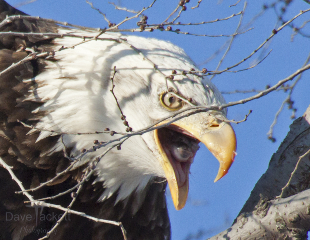 Bald eagle with an eye in it's mouth