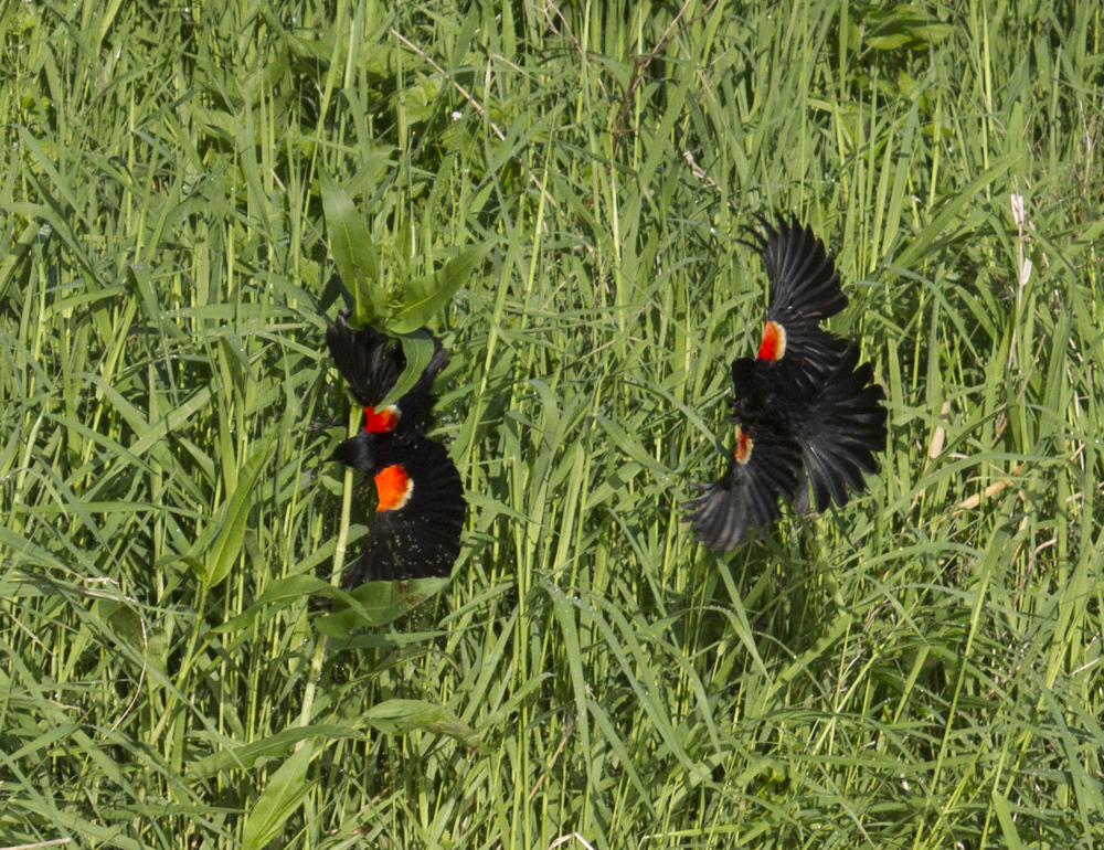 2 Redwinged Blackbirds in flight