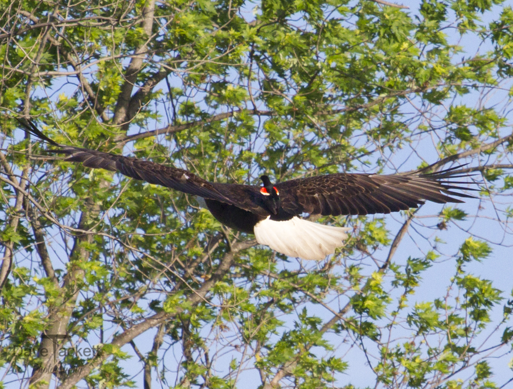 Hitching a ride on an eagle
