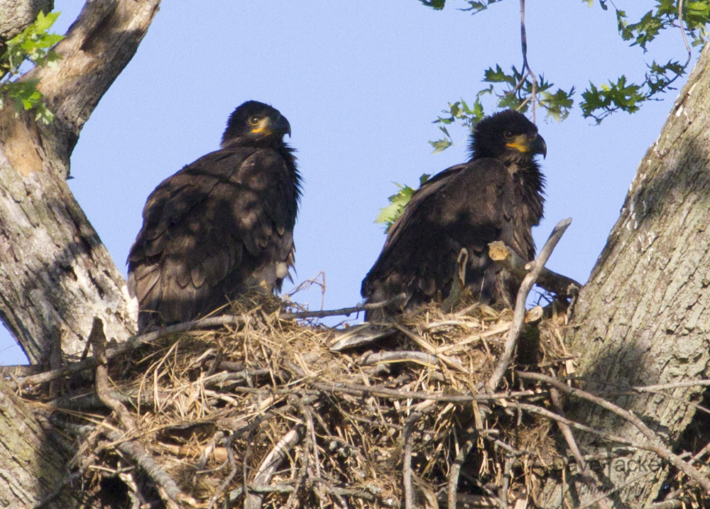 2 eagle chicks