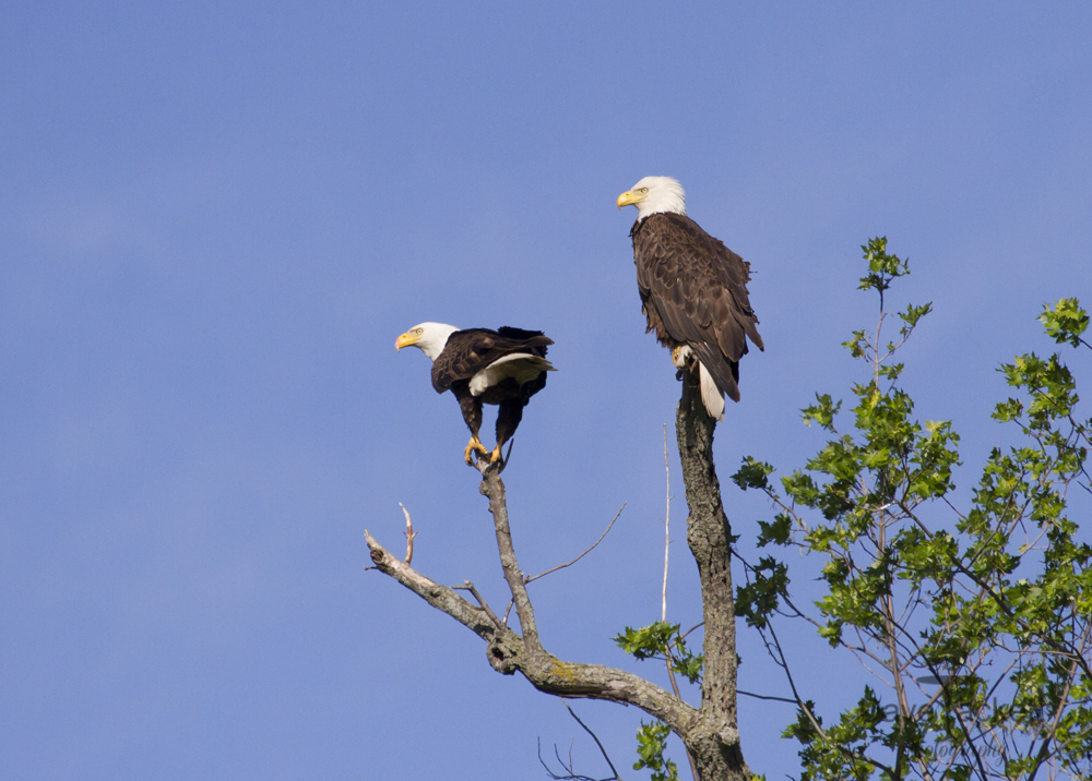 2 perched eagles
