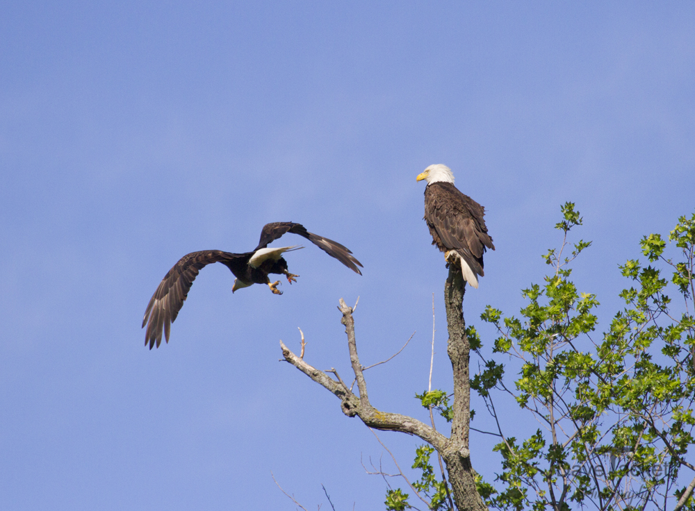 Bald Eagle Flying by his mate
