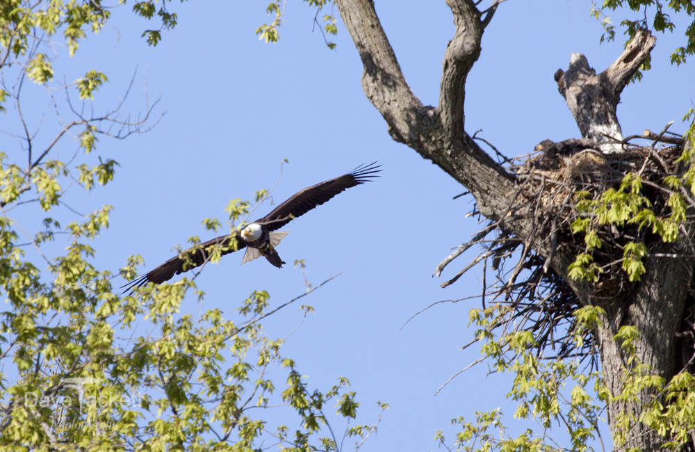 eagle carrying turtle to nest