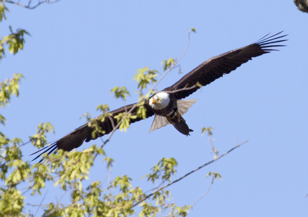 eagle carrying  turtle