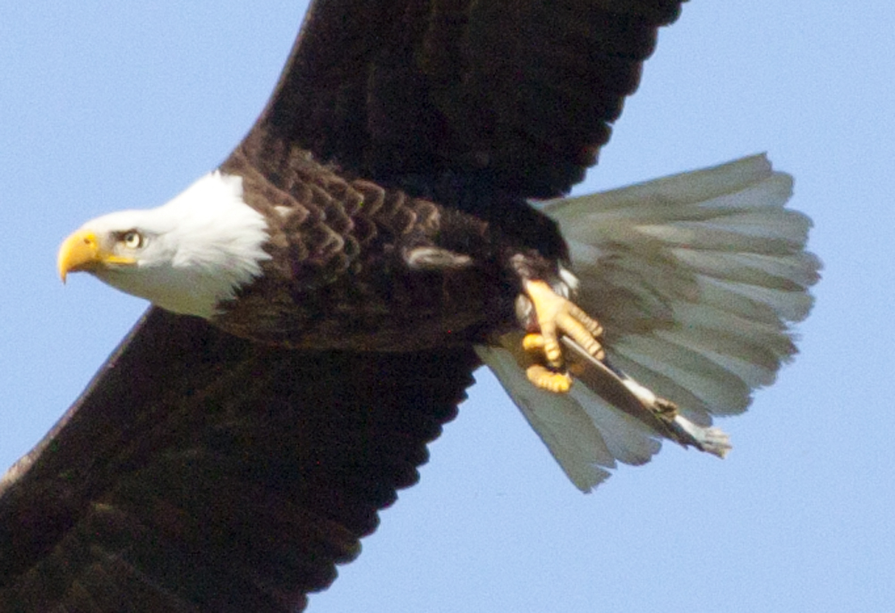 eagle with turtle