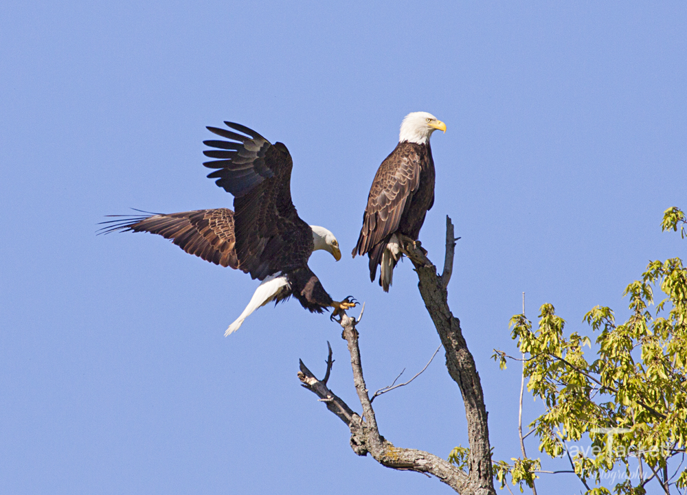 Eagle landing in tree next to mate