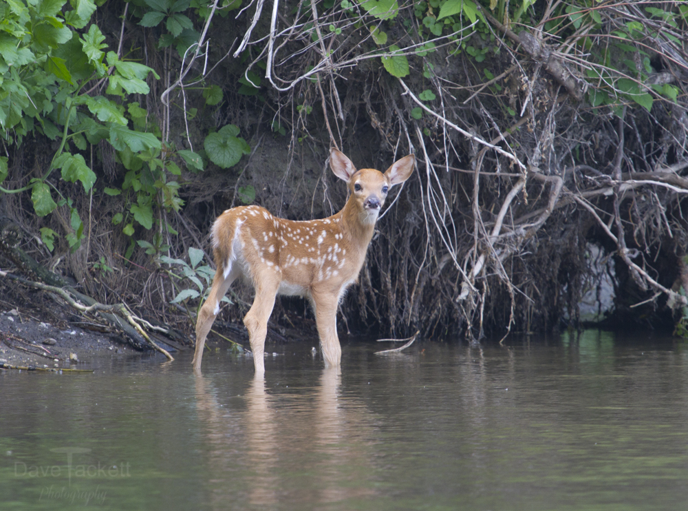 fawn in the river