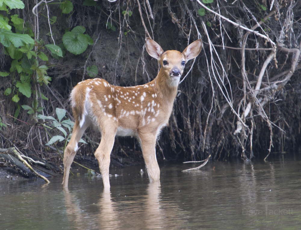 Young fawn just born