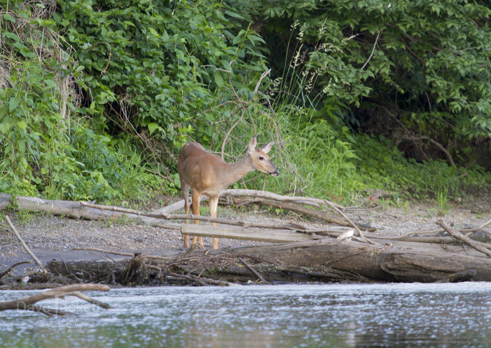 young deer getting a drink from the rock river