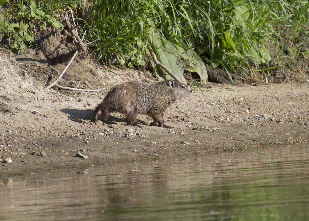 ground hog with scars