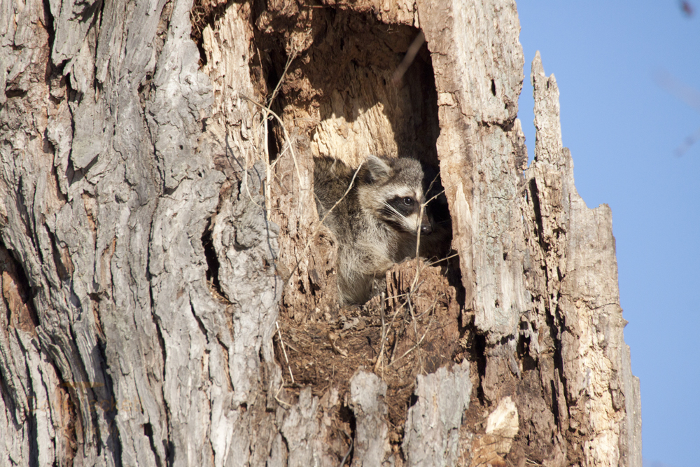 raccoon in a tree ready for a nap