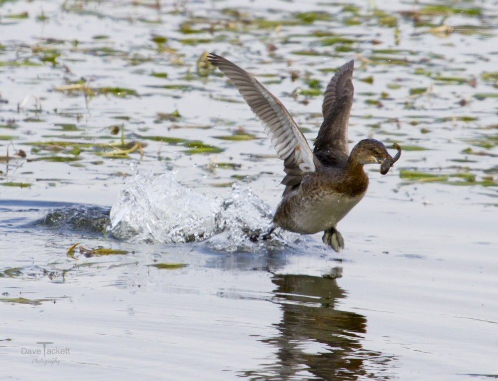 Grebe flying with a catfish