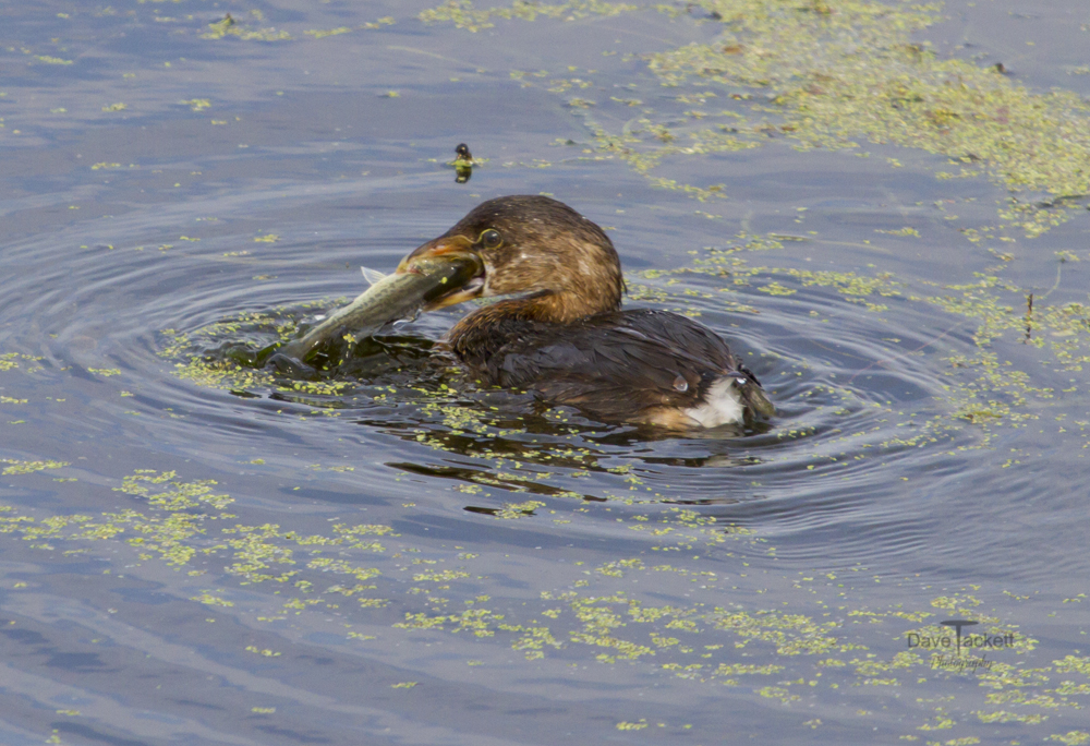 Grebe with a bass