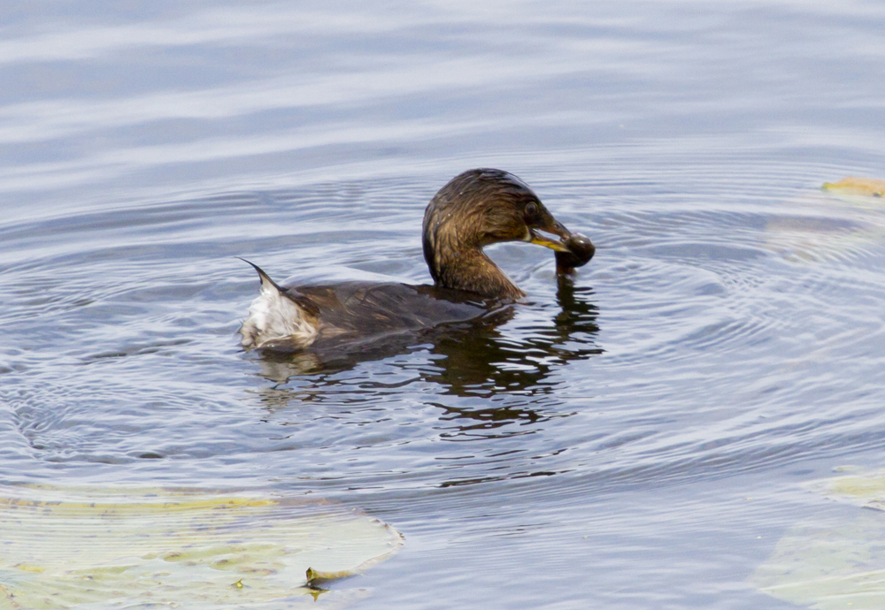 Grebe with a catfish