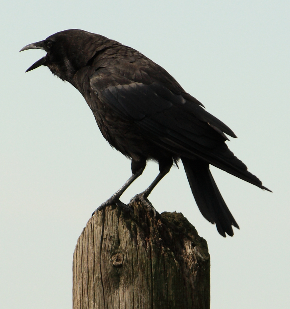 full size crow