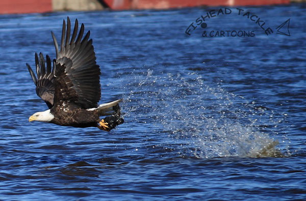 Bald Eagles eating Ducks | Fishead Tackle Blog