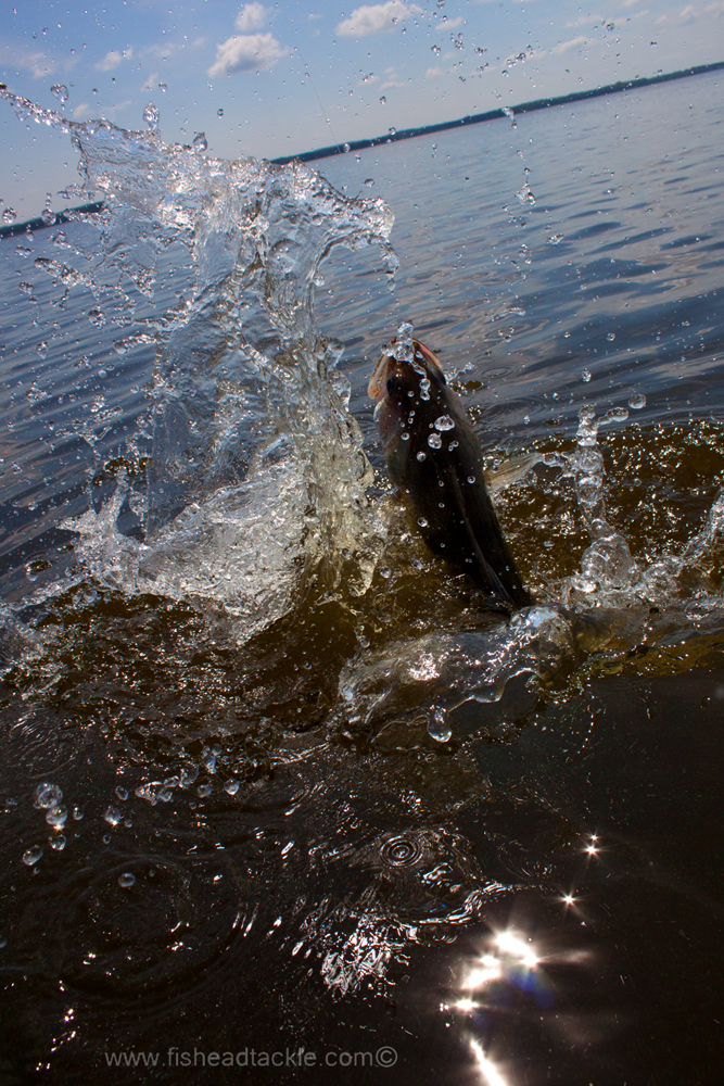 IMAGE: http://www.fisheadtackle.com/images/2012/photos12/IMG_8374e1.jpg