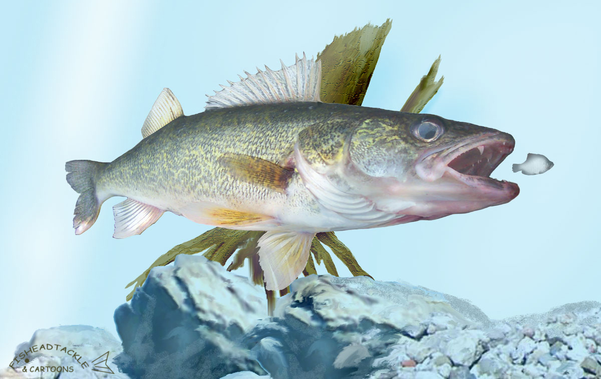 Walleye art for Fishing for walleye